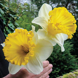 Trumpet Daffodil Las Vegas