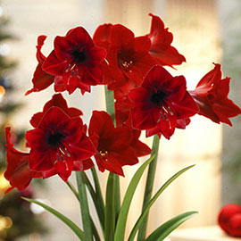 Single Amaryllis Dynamite<sup>® </sup>