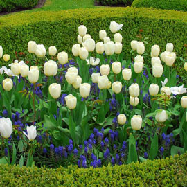 Darwin Hybrid Tulip Ivory Floradale