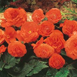 Non-Stop Begonia Orange
