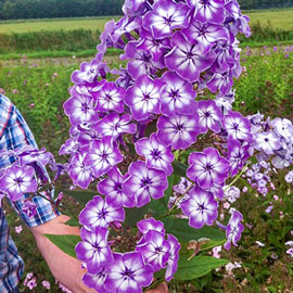 Hardy Tall Phlox Goliath