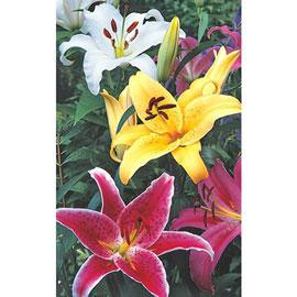 Stargazer Lilies Mixed