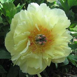 Itoh Peony 'Garden Treasure'