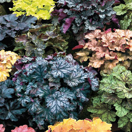 Heuchera and Heucherellas