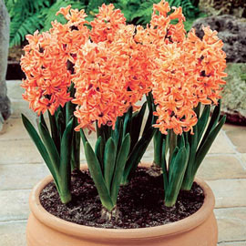 Fragrant Hyacinth Gipsy Queen