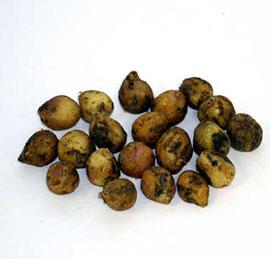Wood Hyacinth Mix (Hyacinthoides hispanica)