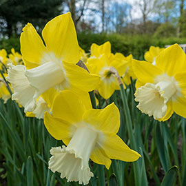 Giant Trumpet Daffodil Teal