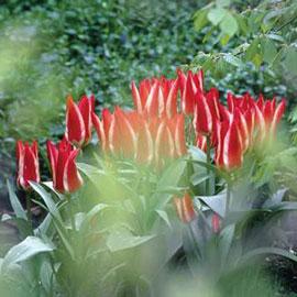 Greigii Tulip Pinocchio