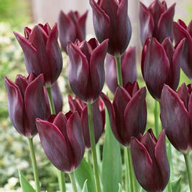 Late-Flowering Tulip Lasting Love