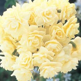 Paperwhite Narcissus Erlicheer
