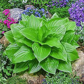 Hosta Miracle Lemony