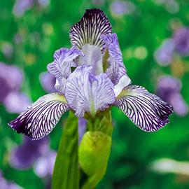 Intermediate Bearded Iris Variegata Reginae