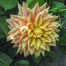 Dinnerplate Dahlia Advance