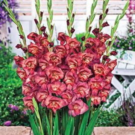 Glamini® Gladiolus Thomas