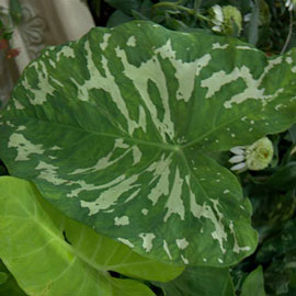 Alocasia Hilo Beauty