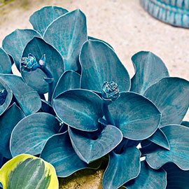 Mini Hosta Blue Mouse Ears