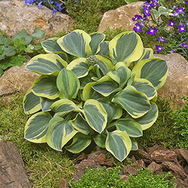 Mini Hosta Mighty Mouse