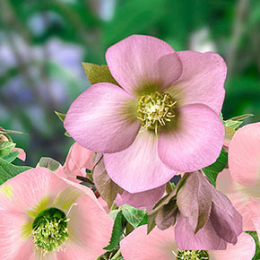 Hellebore King Single Soft Pink