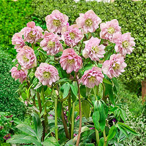 Hellebore King Double Pink