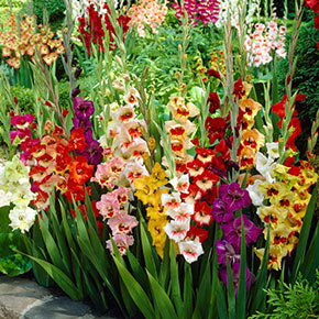 Gladiolus Mixed Crate