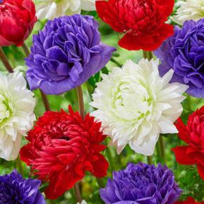 Full Star Poppy Anemones Mixed Colors