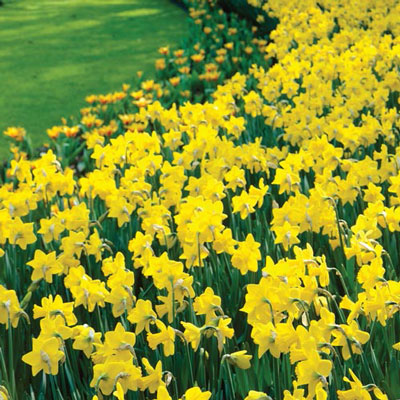 Giant Yellow Daffodils for Naturalizing