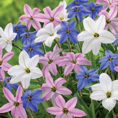 Ipheion Mixed (Spring Starflowers)