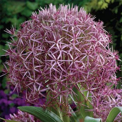 Allium albopilosum (christophii)