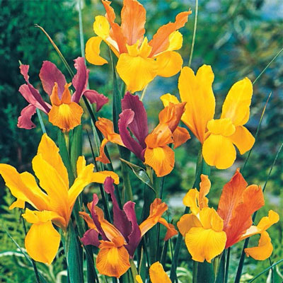 Bronze Dutch Iris Blend