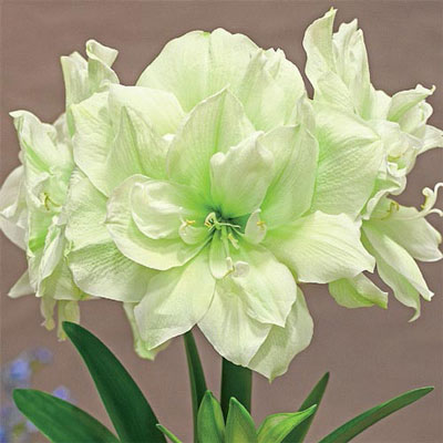 Double Amaryllis Marilyn