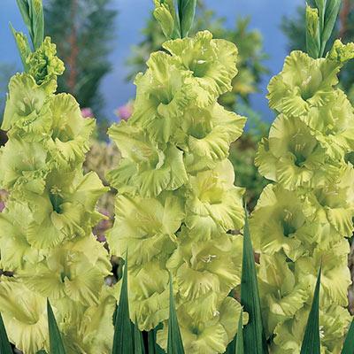 Gladiolus Green Star