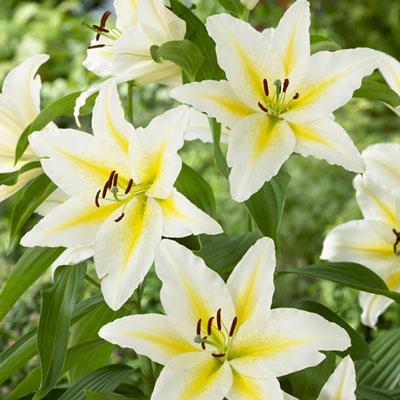 Oriental Lily Venezuela