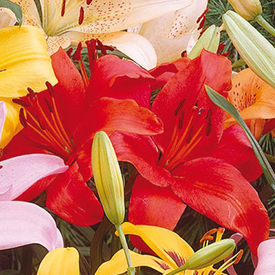 Asiatic Lily Prunotto