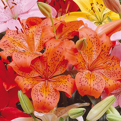 Asiatic Lily Orange County