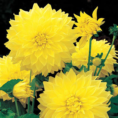 Giant Dinnerplate Dahlia Kelvin Floodlight