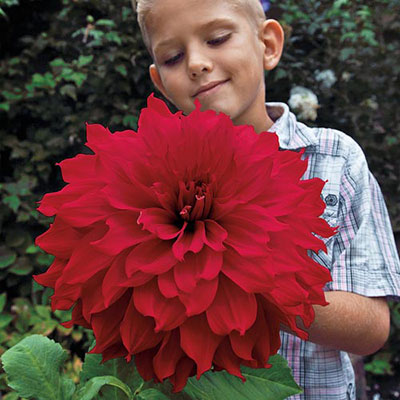 Giant Dinnerplate Dahlia The Big Wow