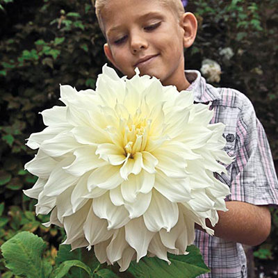 Giant Dinnerplate Dahlia Fleurel<sup>®</sup>