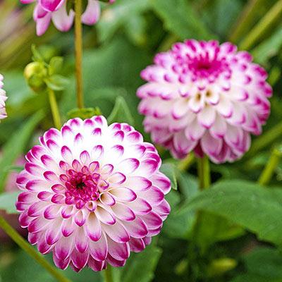Colorful Decorative Dahlia Pink Isa