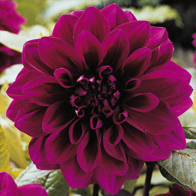 Colorful Decorative Dahlia Thomas Edison