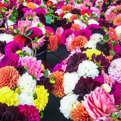 Colorful Decorative Dahlia Mix