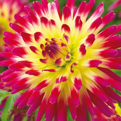Bright Cactus Dahlia Tahiti Sunrise