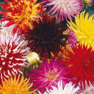 Bright Cactus Dahlia Mix