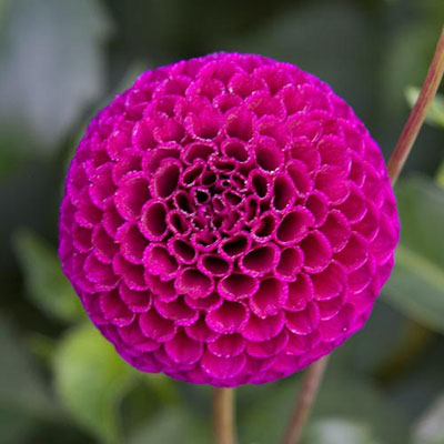 Giant Ball Dahlia Babette
