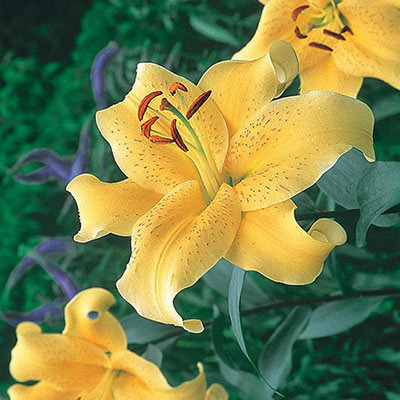 Oriental Lily Golden Star Gazer