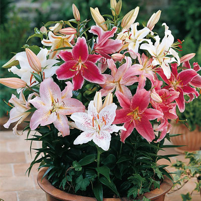 Oriental Border Lilies Mixed
