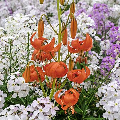Old-Favorite Lilies Tenuifolium