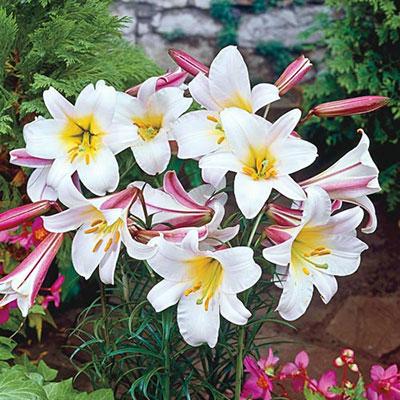 Trumpet Lilies Regale