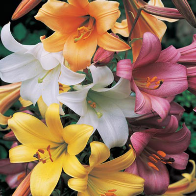 Trumpet Lilies Mix