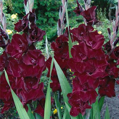 Hybrid Gladiolus Belle de Nuit