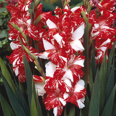 Hybrid Gladiolus Zizane